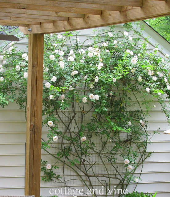 Diy Trellis New Dawn Rose Garden Flowers ℓawns More 400 x 300