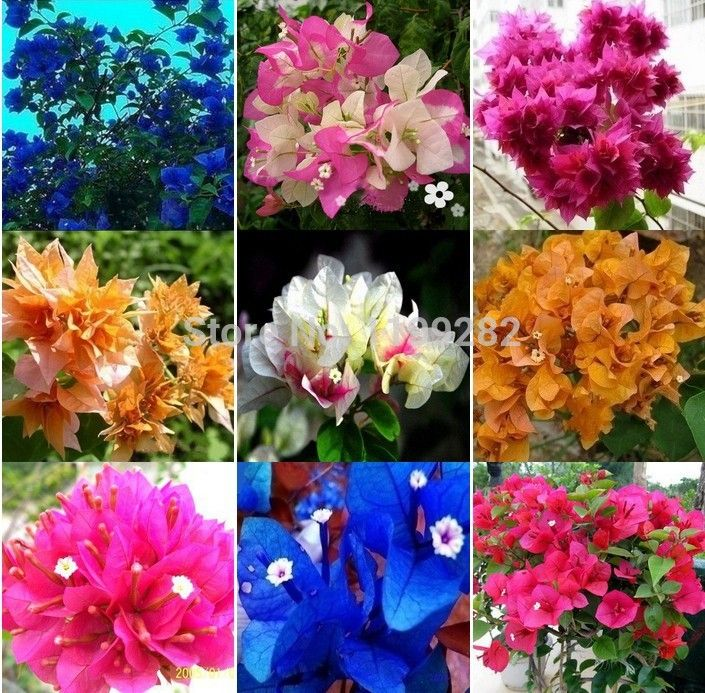 Bougainvillea Plant Colors Wwwimgkidcom The Image