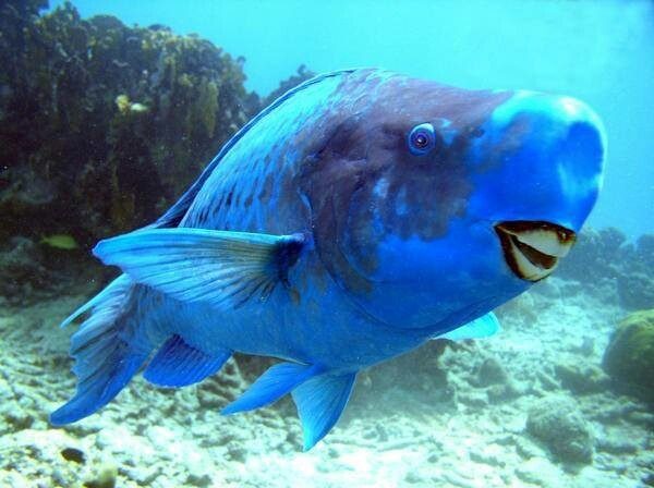 Smiling parrot fish lovely animals pinterest for Blue parrot fish