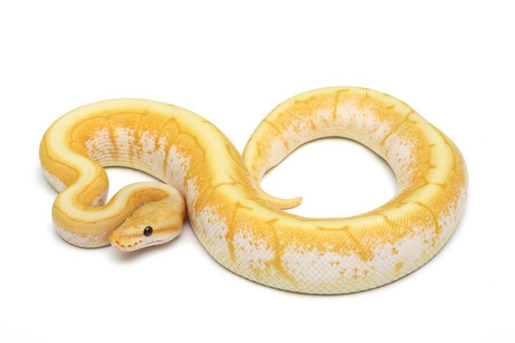 Banana spider ball python - photo#11