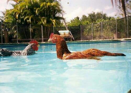 Chickens swim how cool chook coop pinterest for Swimming chicken