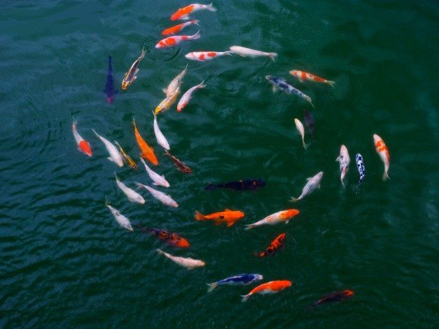 koi swimming in a circle stuff i love pinterest ForKoi Swimming