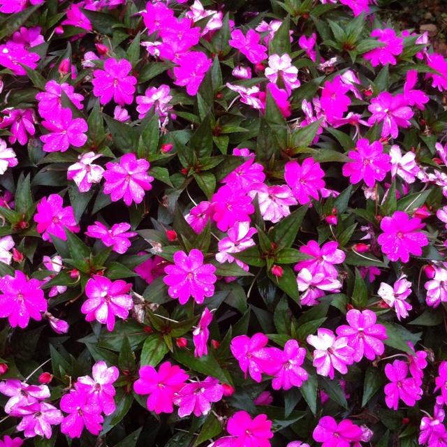 Sunpatiens From My Garden Flowers And Gardens Pinterest