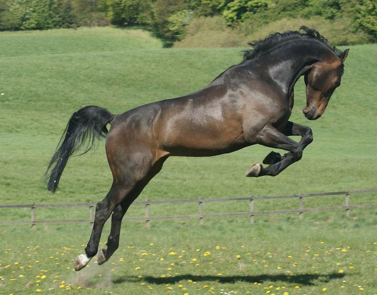 Dark Bay Horses Jumping  Dark