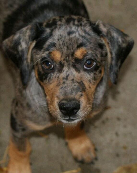 Blue Doxy- dachshund blue heeler mix. So cute!   Puppy Love ...