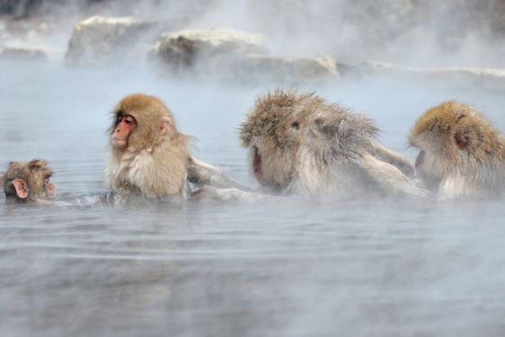 Baños Termales Japon: macacos toman un baño en las aguas termales de Yamanouchi, Japón