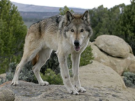 an introduction to the nature of the wolf How to write a reflective essay with sample essays updated on april 21,  introduction: either start with a  or other place in nature.