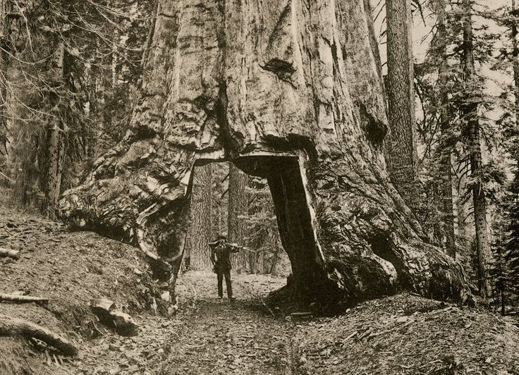 A settler in 1890 shows off the path he has cut through the giant sequoia Wawona