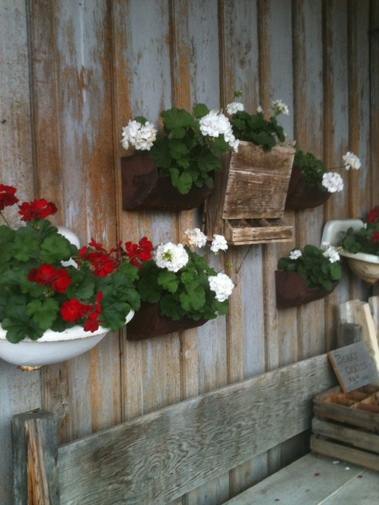 Red geraniums in old sink