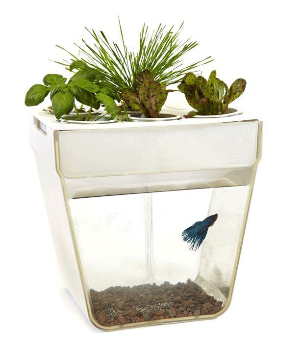 Fish bowl feeding from plants gardening ideas pinterest for Fish bowl plants