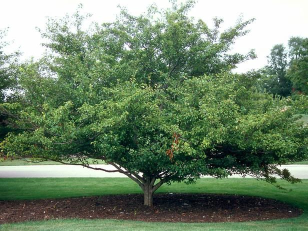Low maintenance plants for easy landscaping for Low maintenance garden trees