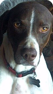 ... FL - German Shorthaired Pointer Mix. Meet Jamie Lee a Dog for Adoption