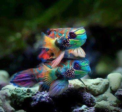 Rainbow koi awesome lukas pinterest for Rainbow koi fish