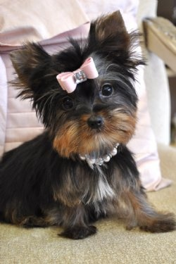 Fantastic Yorkie, Yorkshire Terrier Breeder, Yorkshire Terrier Puppies For Sale, Yorkie Puppy For Sale, Yorkies, Yorkie, Yorkie Grooming, Yorkie Care  Yorkie Puppy, Yorky  Teacup Yorkshire Terrier  Yorkie Puppy Breeder Offering All Size