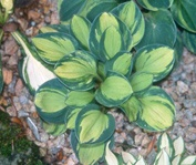 Holy Mouse Ears Hosta / For Containers