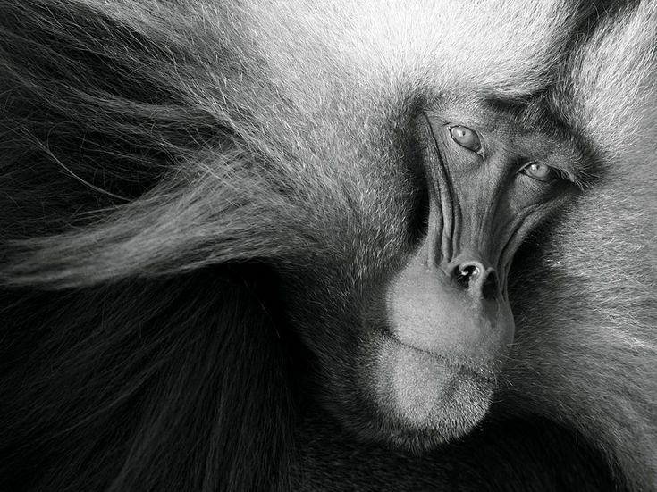 Gelada #nature #animals #monkeys