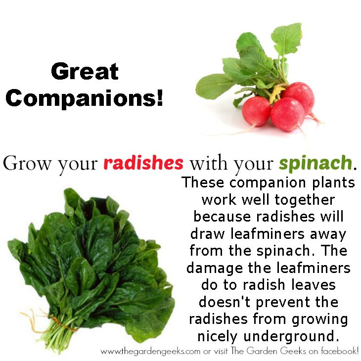 Spinach and Radish...Great Companion Plants