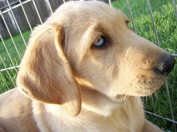 Blue eyed Labrador retreiver by kittysushii deviantart com on      Yellow Lab With Blue Eyes