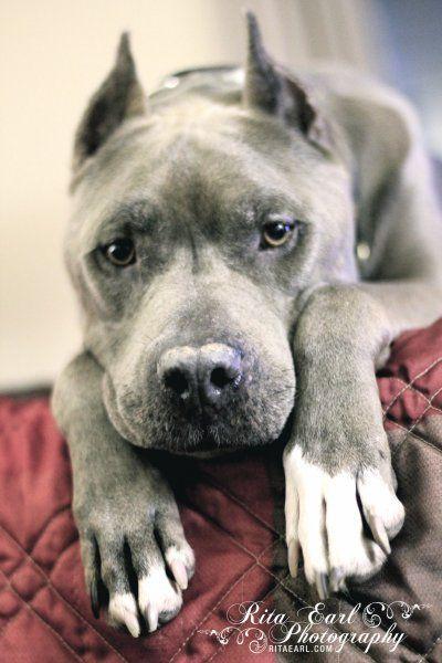 Bluie from Pit Bulls and Parolees Villalobos Rescue Center - Blue Boy ...