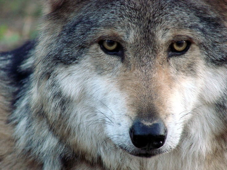 Mexican grey wolf - photo#10
