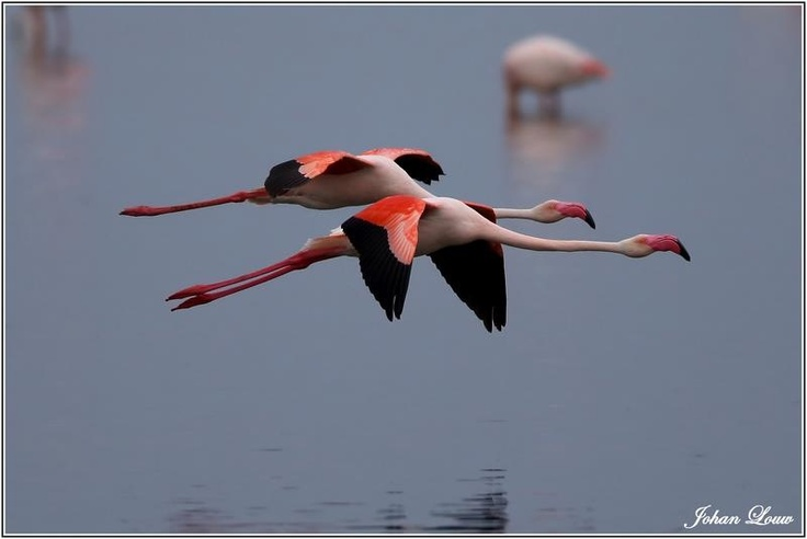 flying flamingoes ii by - photo #10
