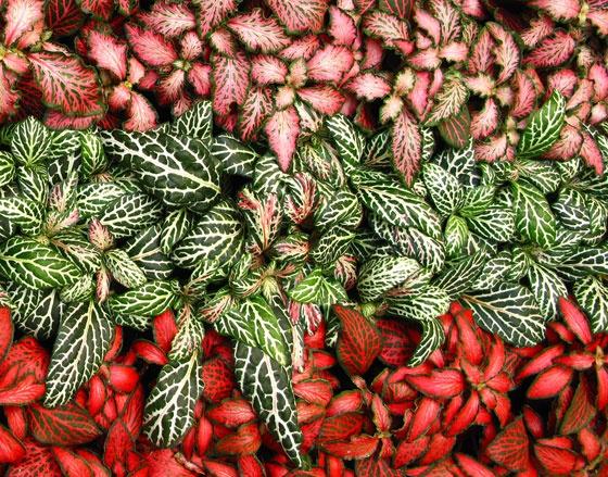 Fittonia verschaffeltii  - Fitonia