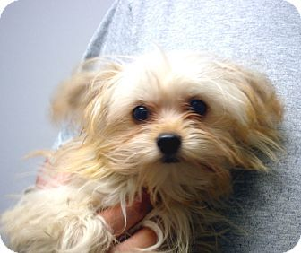 Maltese/Poodle (Toy or Tea Cup) Mix. Meet Snuggles a Puppy for ...