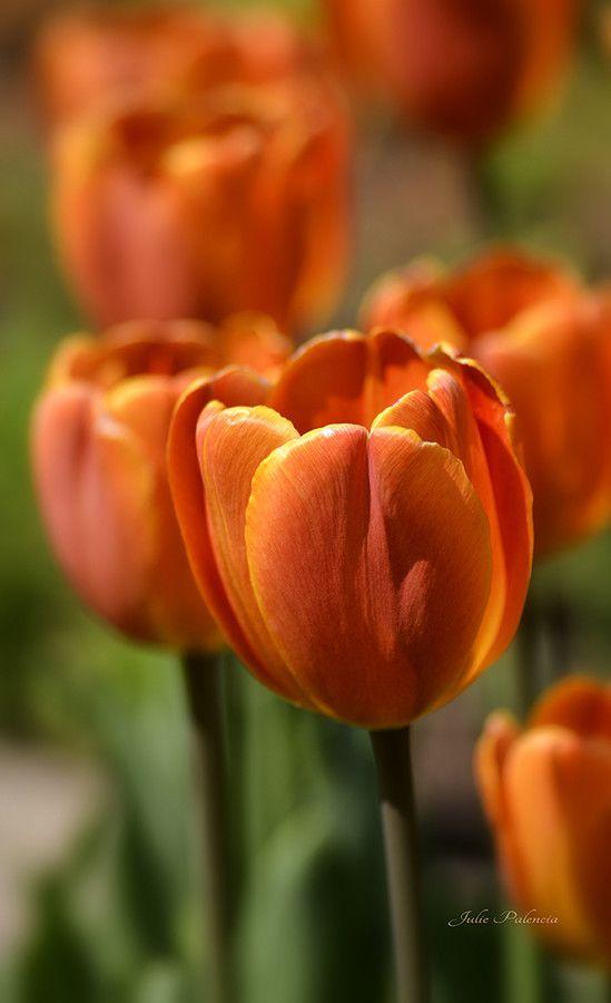 Sun burst orange tulips