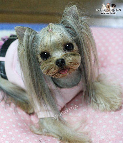 yorkshire terrier haircut | Yorkshire terrier haircut
