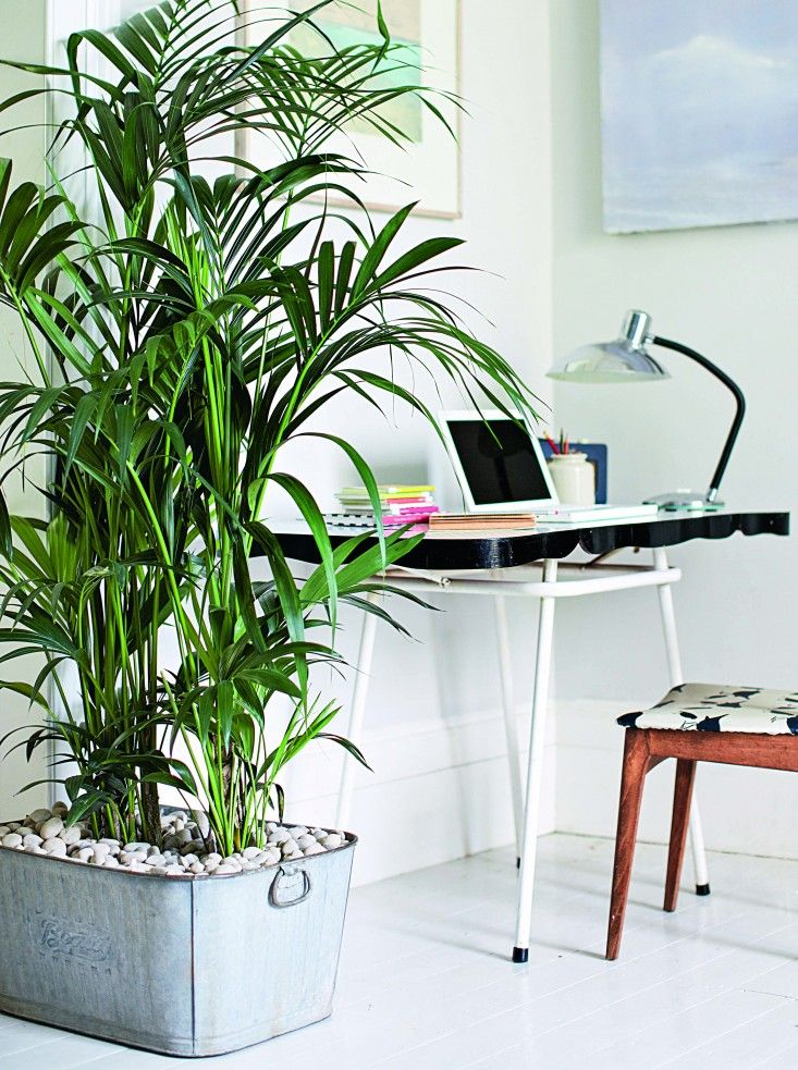 Isabelle Palmer, The House Gardener, Tall Houseplant in Office
