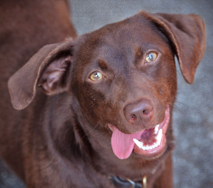 ... Dachshund & Labrador Retreiver mix :) This girl is about 28 lbs, fully