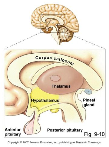 epithalamus diagram - photo #2