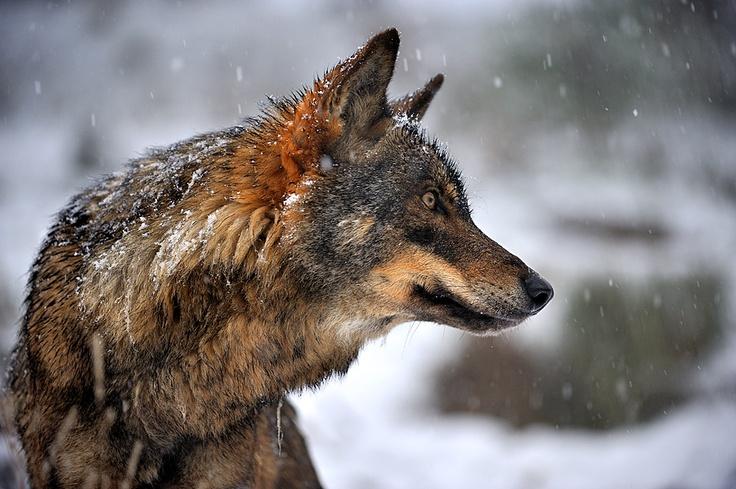 Iberian Wolf by Francisco Mingorance