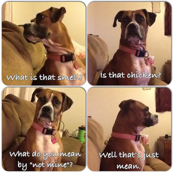 Funny boxer dog quotes