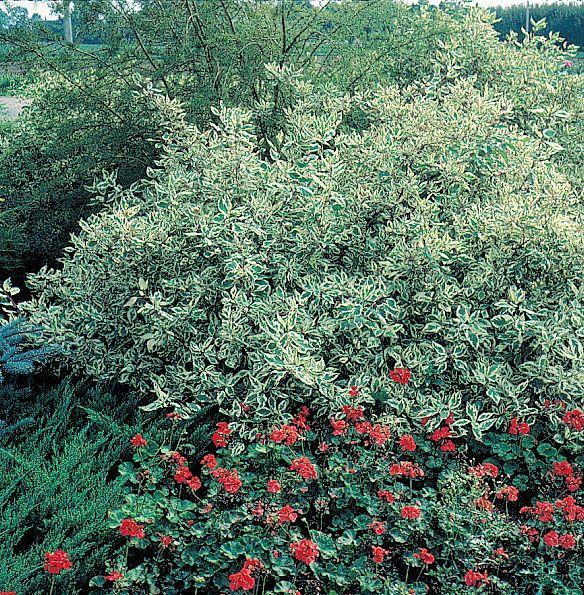 Silverleaf Dogwood Gardening Pinterest
