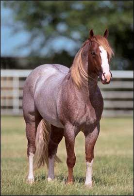 red roan Quarterhorse.  Stunning!