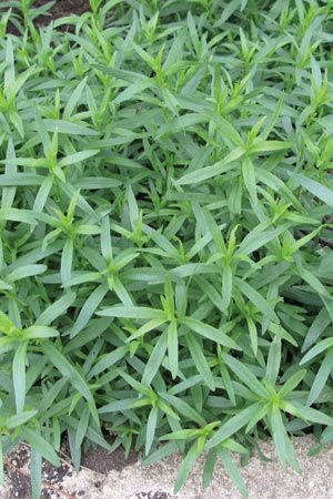 French Tarragon. With all the preserving  this herb can help make some things extra special / FRAGRANT, Will help to attract Hummingbirds and Butterflies.  Plant with Moonflower Vine which is also fragrant.