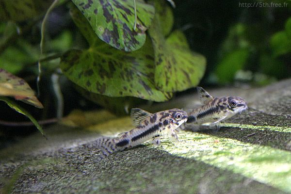 Dwarf Spotted Cory Acuariofilia Pinterest