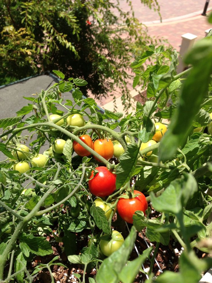 Perfect for small space containers: Maskotka tomatoes -- so sweet and ...