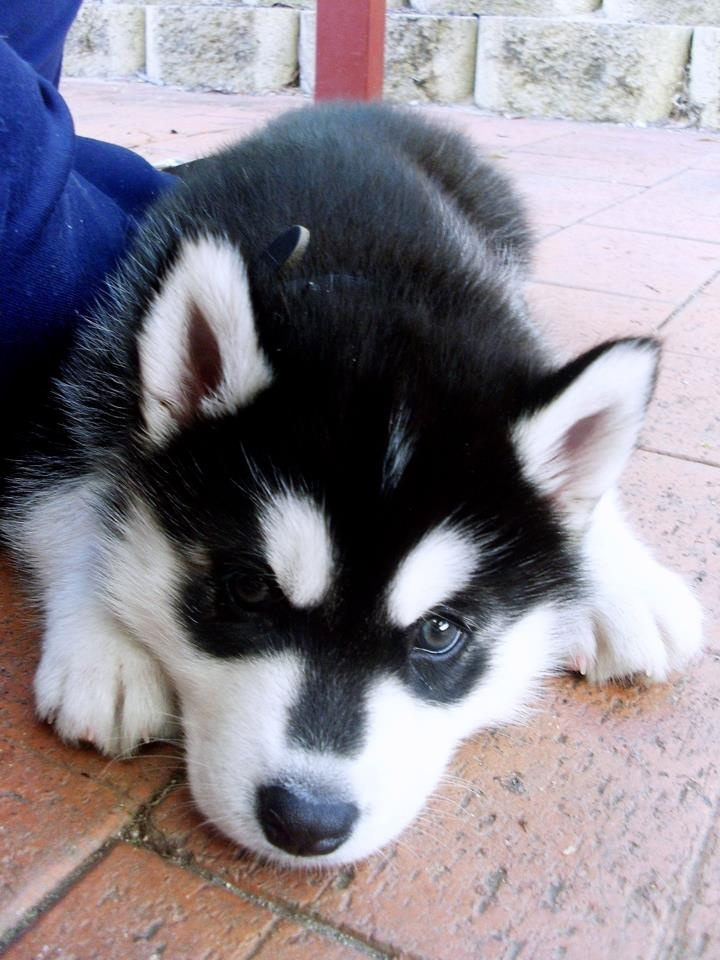 pin baby huskies pictures - photo #10