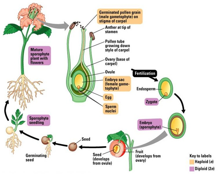 flower and pollen tube essay example Sexual reproduction cross-pollination is the transfer of pollen from the anthers of a flower the inner wall of the pollen grain grows into a pollen tube.