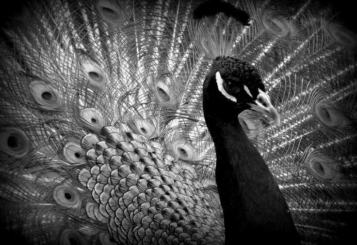 Peacock black and white picture - photo#15