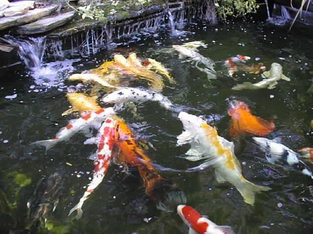 Tips for raising koi in your pond for Raising koi fish