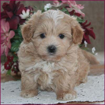Maltipoo Puppies 4 Sale| Apricot Puppy| Dog Breeders | Iowa | Cute And ...