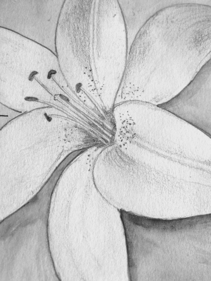 lily pencil drawing pencil drawing of lilies lily pencil drawings    Lily Flower Drawings In Pencil
