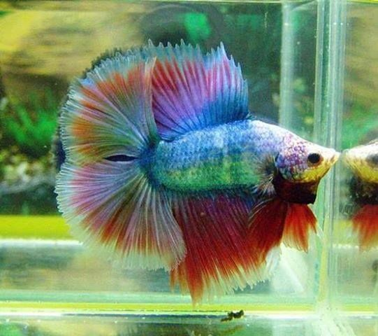 rainbow double tail betta fish pinterest