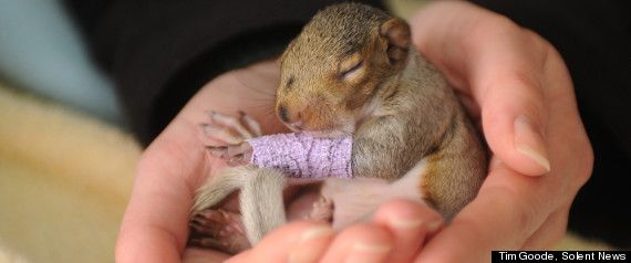 Baby squirrel gets tiny purple cast after falling out of nest <3 <3 <3 Muito amor