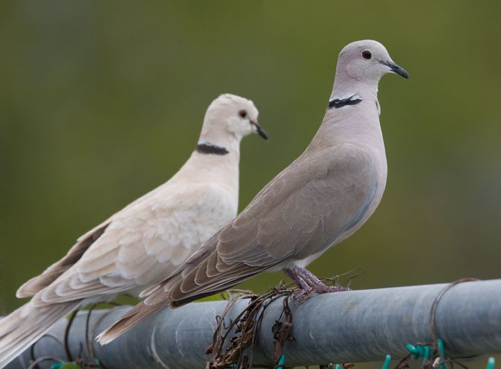 African collared dove vs eurasian collared dove - photo#1