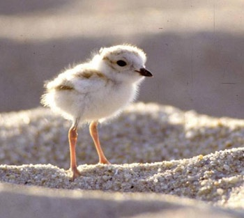 Baby piping plover - photo#2
