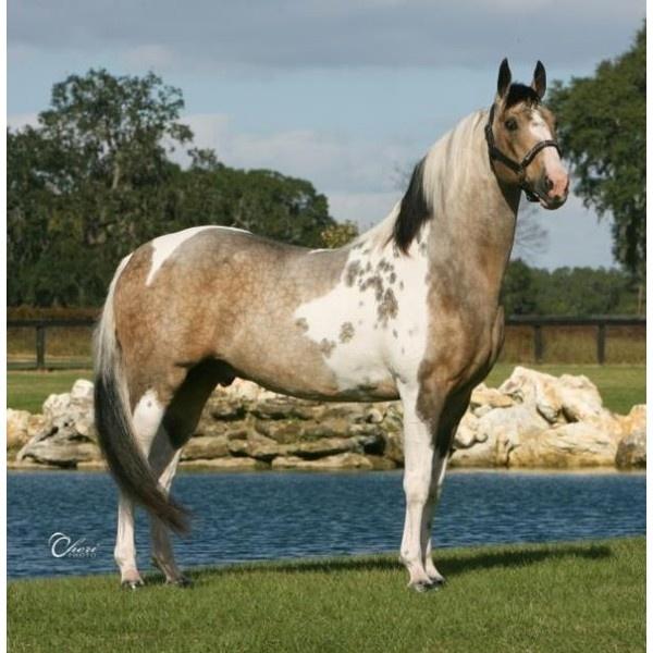 Solid black paint horse